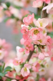핑크 노망 꽃 가지