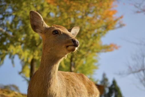 Sika deer in Nara Park ②