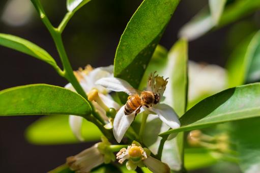 Bees perching on white orange flowers
