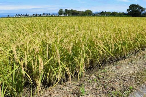 Golden-colored rice ears