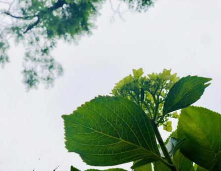Hydrangea frame looking up at the rainy season 2
