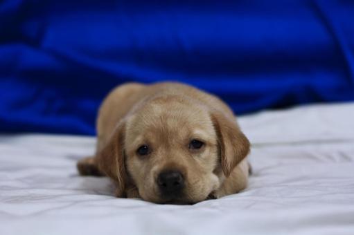 Animals / Labrador Retriever Baby 6