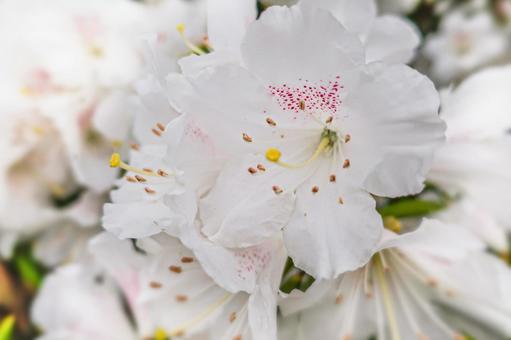 진달래 꽃