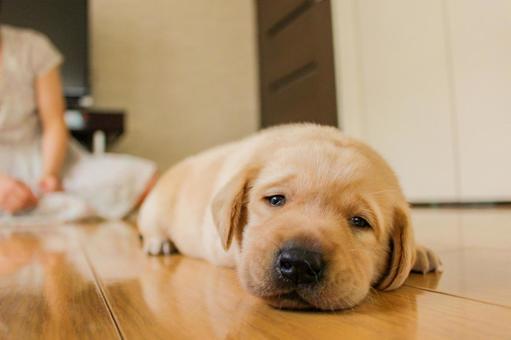 A lovely cute puppy Labrador Retriever