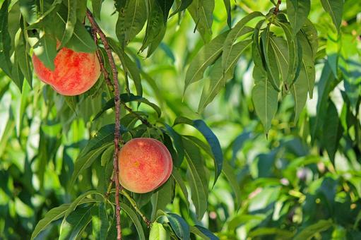 Fukushima peach 2021_04