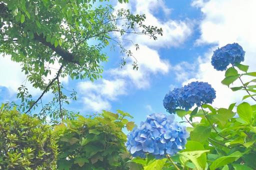 天藍色繡球花和天空繡球花背景