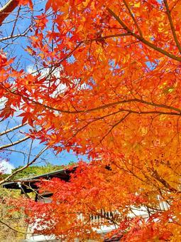 Maple autumn leaves maple autumn autumn background autumn