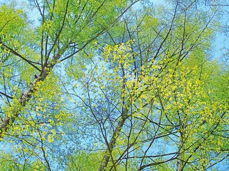 낙엽송과 나무의 부드러운 싹 트고 (봄 · 삼림욕)