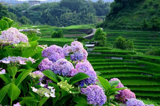 Hydrangea blooming in rice terraces 4