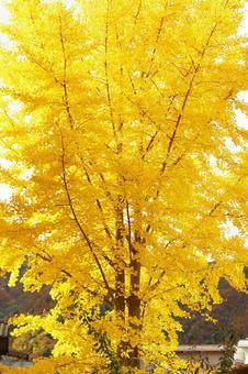 A big tree of ginkgo biloba