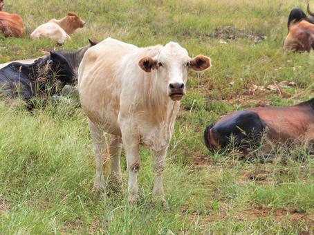흰 소 소 소