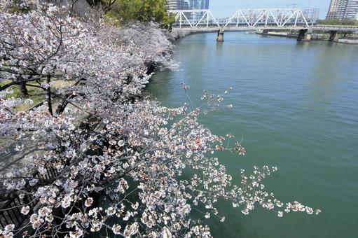Osaka cherry blossom view Sakonomiya Palace