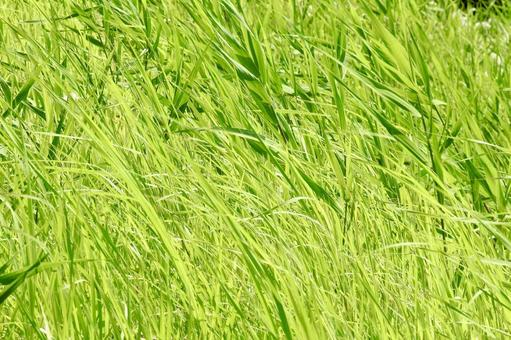 Summer grass in the wind