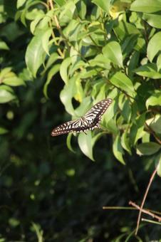 숲을 날아 호랑 나비