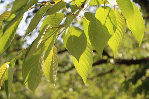 Leaf cherry tree 1