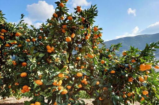 Mandarin orange garden