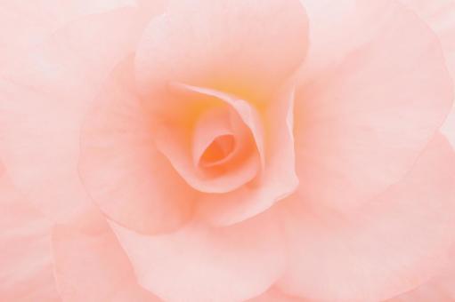 Flower up background begonia pastel pink