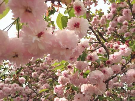 Kenrokuen Kikura樱花树1