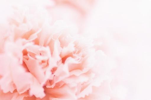 Carnation blizzard flower