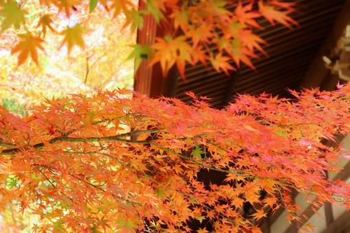 Maple autumn leaves maple autumn autumn wallpaper