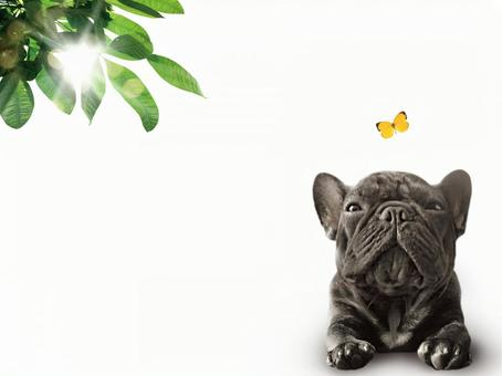 Butterfly and french bulldog psd