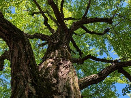 A big tree in early summer looking up from below