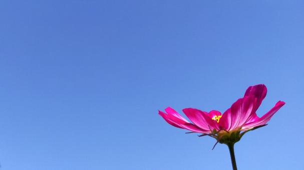 Pink cute cosmos and blue sky background natural texture material