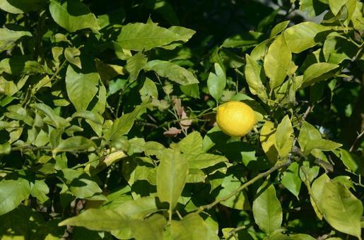 柠檬E成为一棵树E