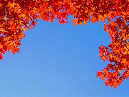Maples that turn red in autumn