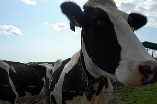 Scenery of cows