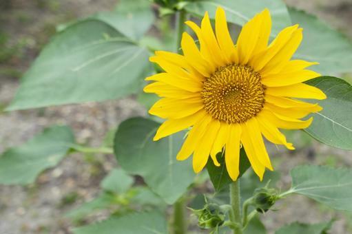 Sunflower up sunshine