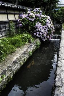 Koi of Matsushiro