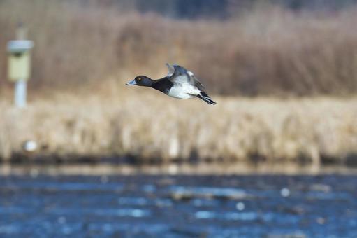 スズガモの雄が飛ぶ様子  バーナビー ブリティッシュコロンビア カナダ