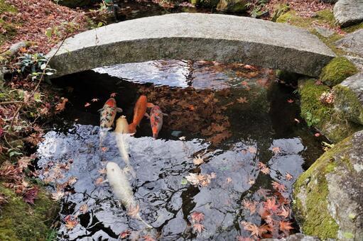 정원 연못의 비단 잉어 3