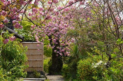Kyoto Kanzan Blooming Philosophy Road