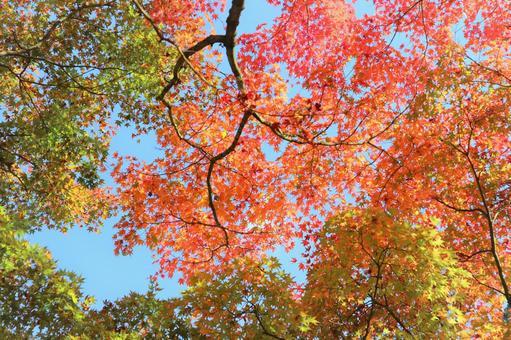 秋葉的一側,在秋楓背景的藍天中閃耀