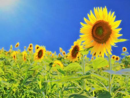The sun shining on the sunflowers-sunlight