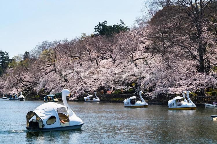 東京都 桜の咲く井の頭恩賜公園 井の頭池とボートの写真