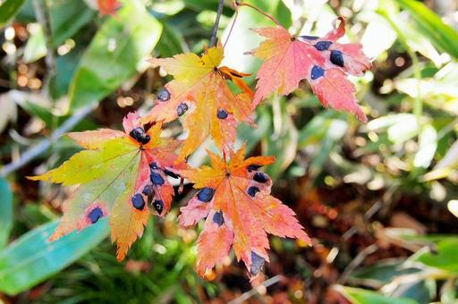 Maple leaf affected by leaf disease / black spot disease