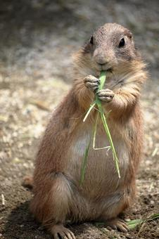 Pull out the prairie dog