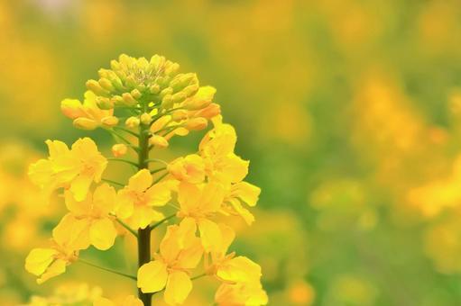 아름다운 유채 꽃
