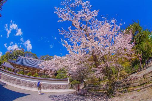 만개 한 벚꽃 (가나가와 현 가마쿠라시)