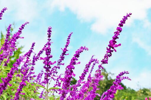Salvia (salvia leucansa)