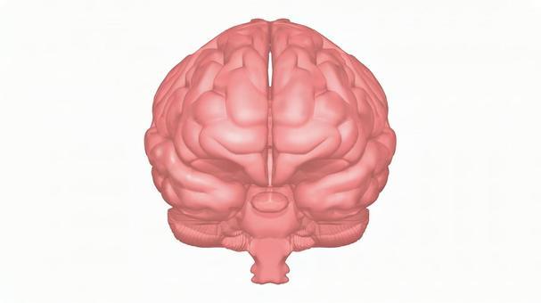 ◆ 뇌의 CG_06 : 대뇌 전면 (흰색 배경)