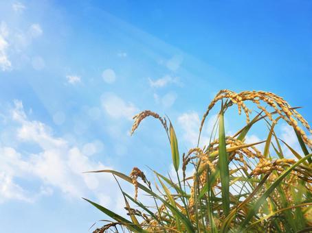 Rice ears and blue sky