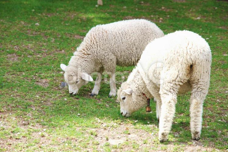 仔羊3の写真