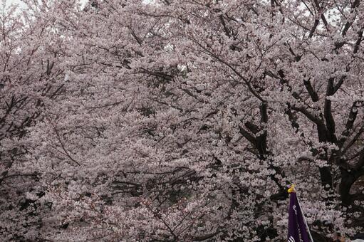 第62届小金井樱花节樱花观赏
