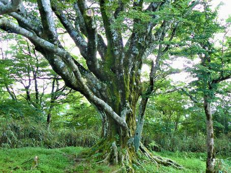 Giant beech tree