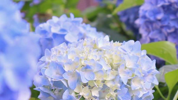 盛開在雨季的和平繡球花繡球花