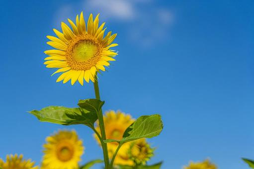 Sunflower text space material background